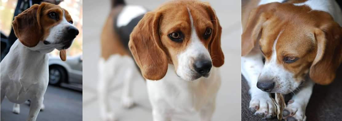 Owner\'s Westside Beagles