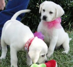 Two Labrador puppies for free