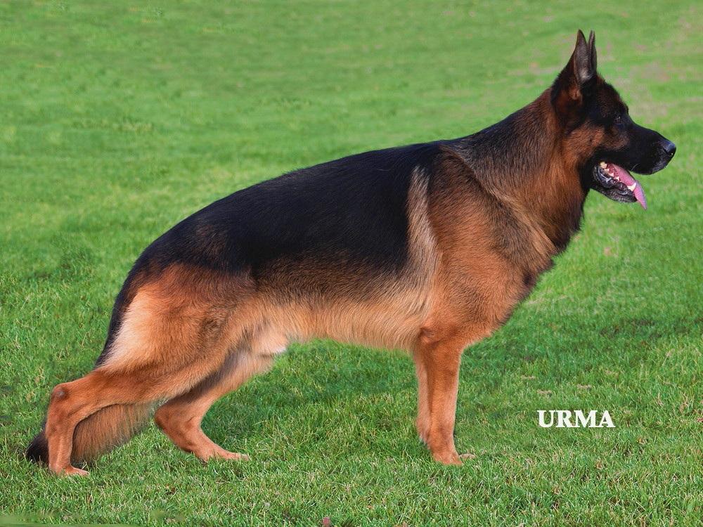 Alpha German Shepherds