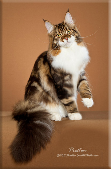 Stormytown Maine Coons