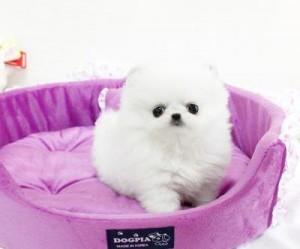 Priceless White Pomeranian Puppy