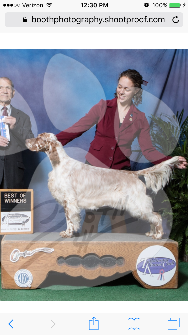 Violet Hill English Setters