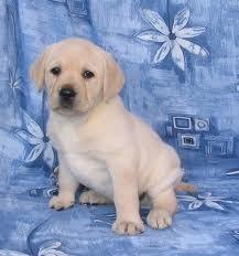 Wonderful Labrador Retriever Pups for Sale