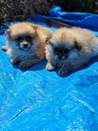 Beautiful Purebred Pomeranian Puppies