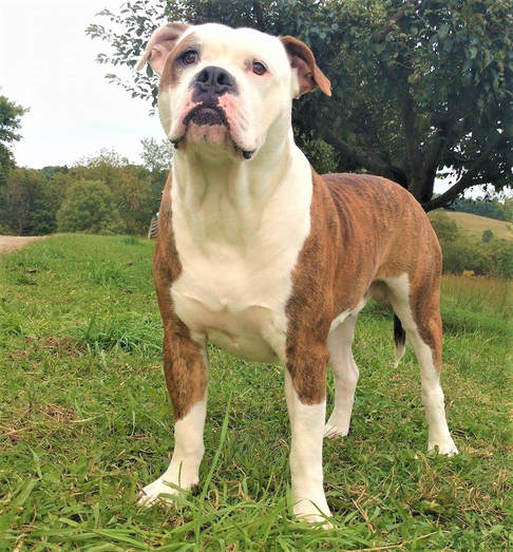F. F. Fox'SFarm of ALAPAHA BLUE BLOOD BULLDOGS