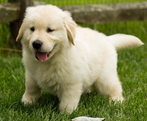 Very healthy Golden Retriever Puppies