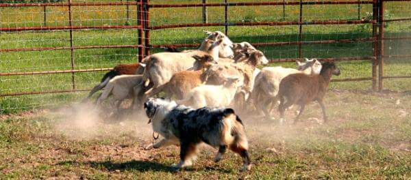 Scraps Australian Shepherds