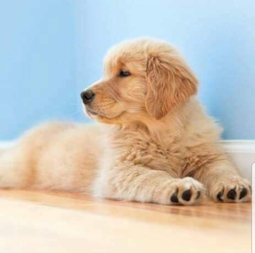 Ryan\'s Goldens and Doodles