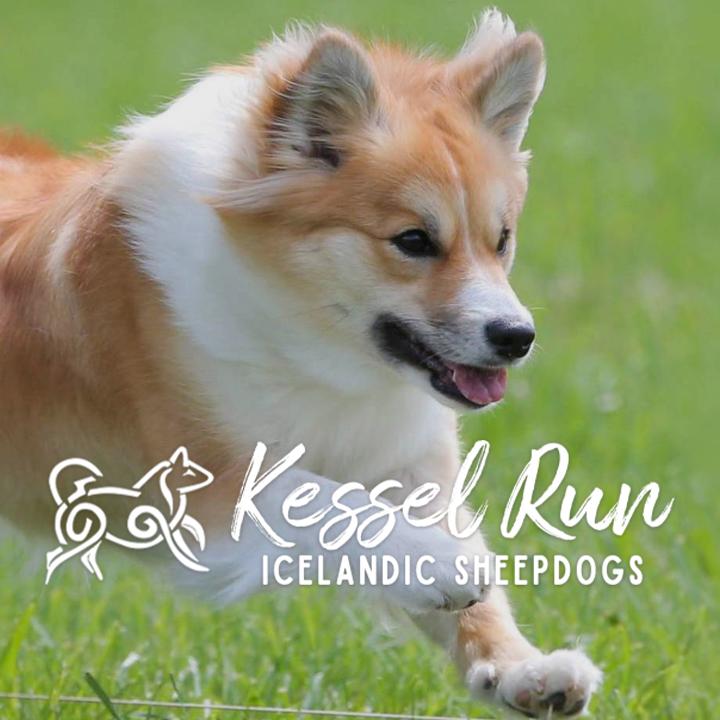 Kessel Run Icelandic Sheepdogs