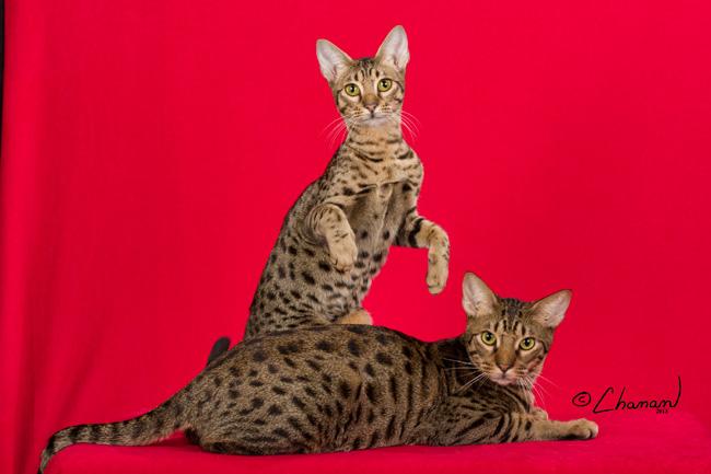Dynamicat Ocicats