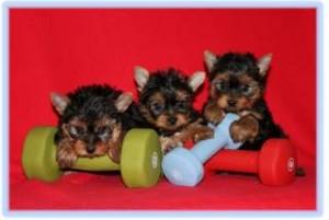 Super adorable Yorkie Puppies