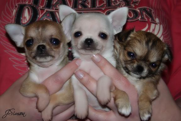 Jems Chihuahua