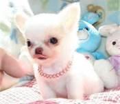 Apple-Head Chihuahua Puppies.