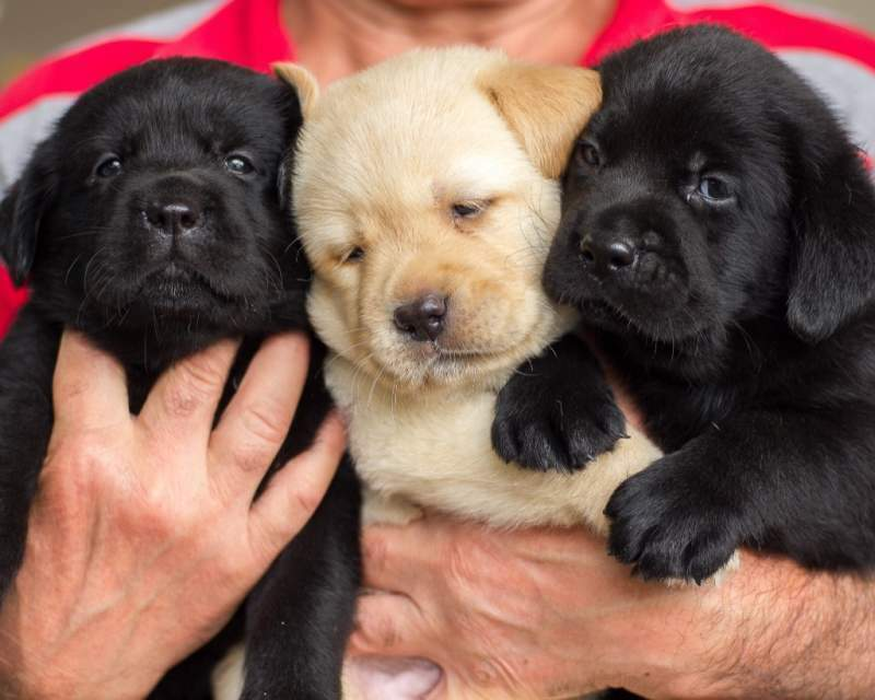 Two Labrador puppies