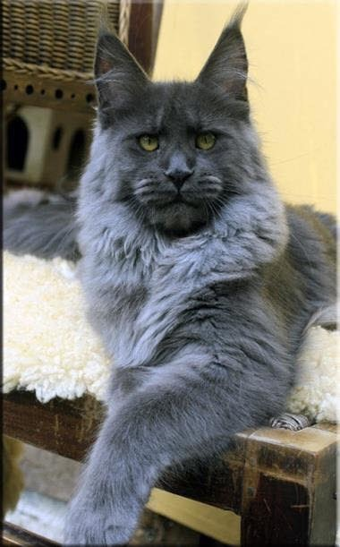 Maine Coon Cat For Sale Near Me Baby Bengal Kitten