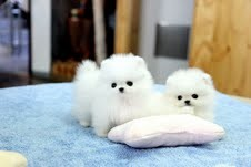 Best White Home Trained Pomeranian Puppy