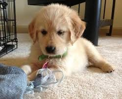 Well Trained Golden Retriever Puppies