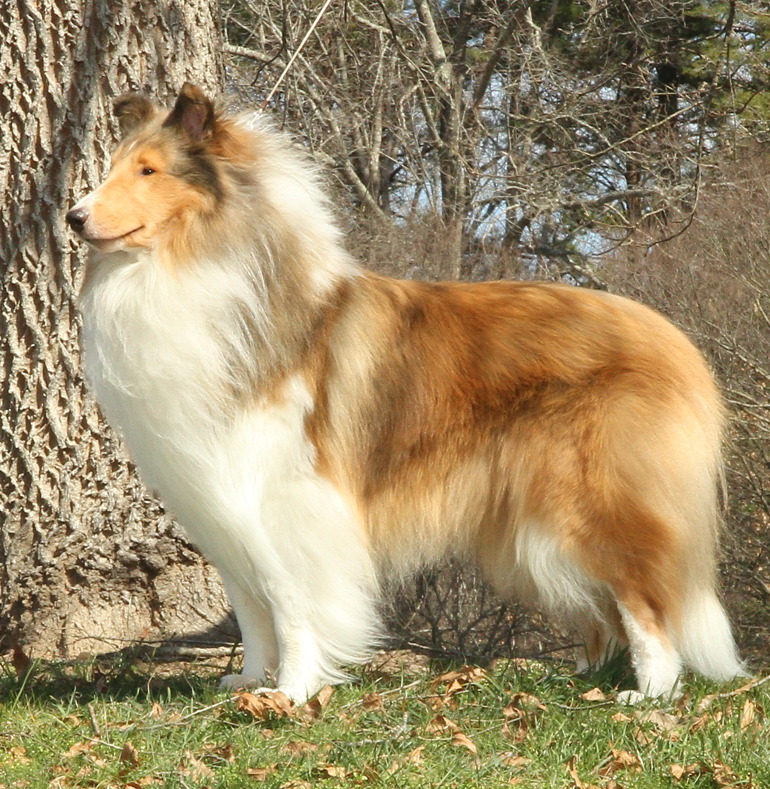 Sanshor Collies