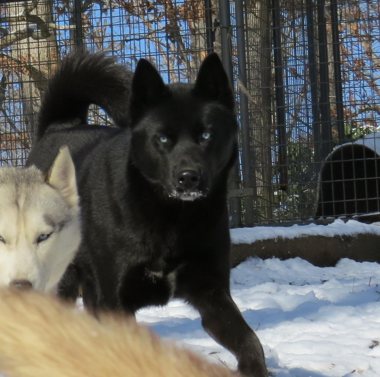 Chastains Huskies
