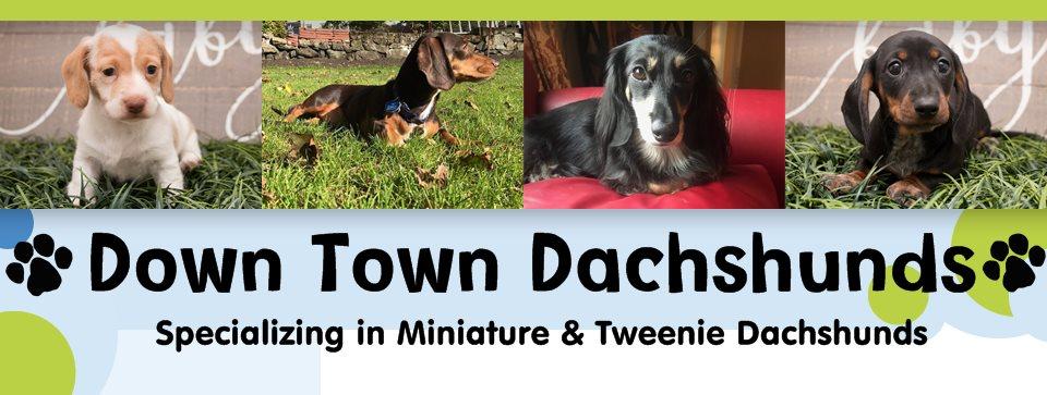 Down Town Dachshunds