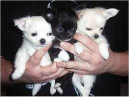 Adorable Chihuahua Puppies