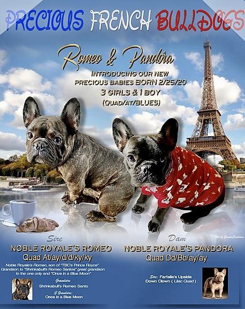 Precious French Bulldogs