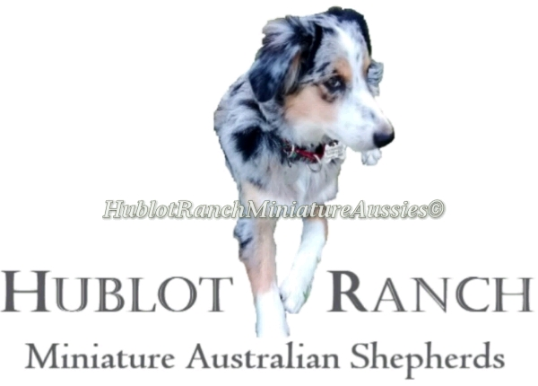 HublotRanch Miniature Aussies