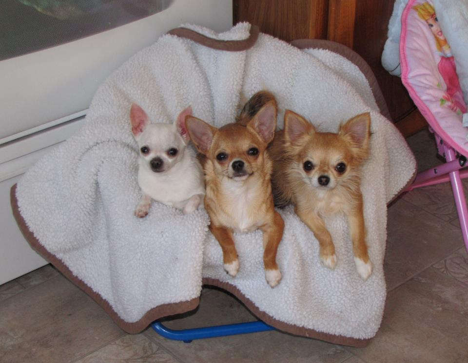 Chihuahua Breeders Near Coos Bay Oregon