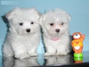 Quality Maltese Puppies