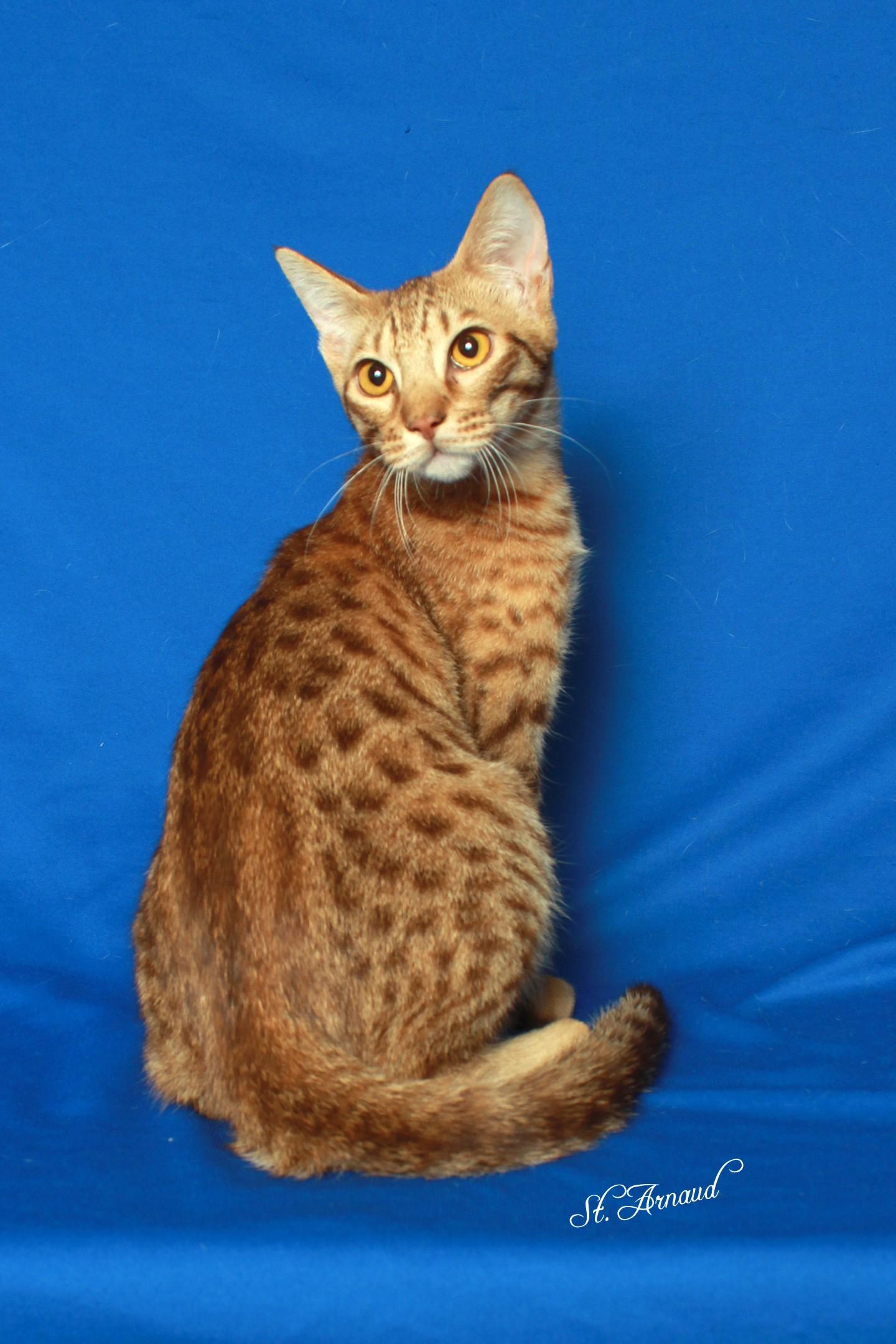 Catiators Ocicats