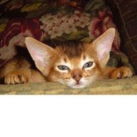 Absolute Abyssinians