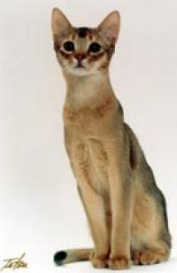 Abyroad Abyssinians