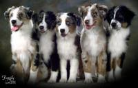 Firestar Australian Shepherds