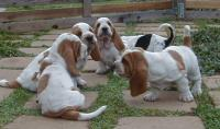 Desiree Acres Bassets