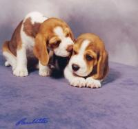 Windsong Beagles