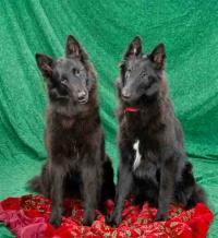 Shetara Belgian Sheepdogs
