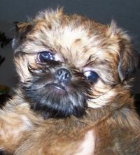 Miracle Brussels Griffons