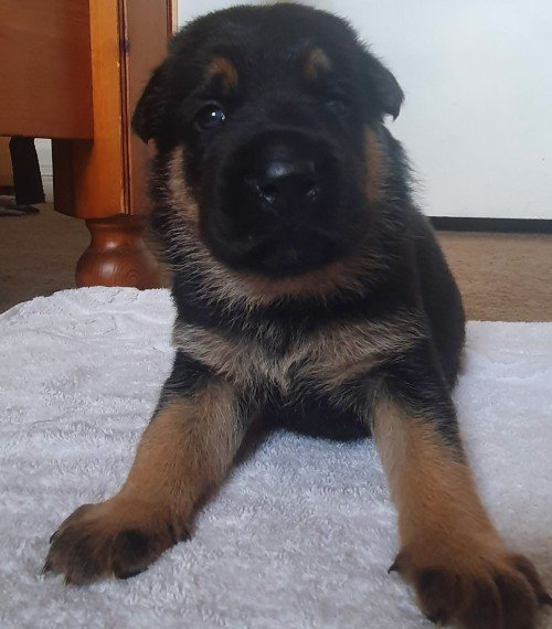 German Shepherd Puppies text 7207152914