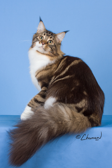 Maine Coon Breeders Near Champaign Illinois