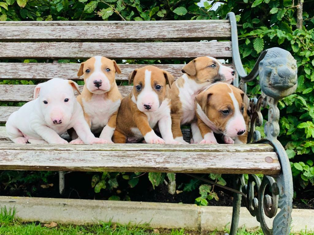 Bull Terrier puppies Call or text (567) 333-7079
