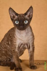 Curly Dolls Devon Rex