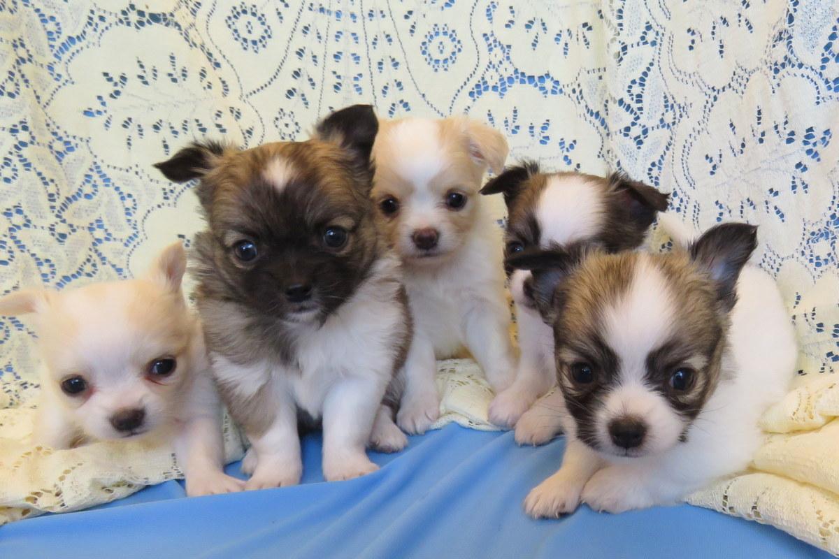 Carsten's Chihuahuas