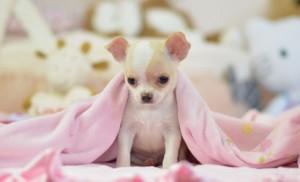Friendly Male Chihuahua Puppy
