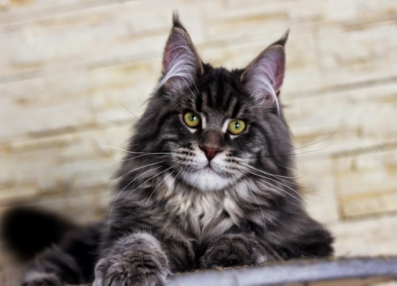 Maine Coon Breeders Near Waller Texas