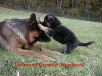 Vollmond Shepherds