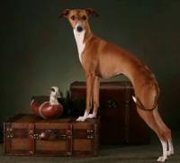Coccolare Italian Greyhounds