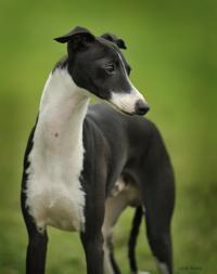 Voici Italian Greyhounds
