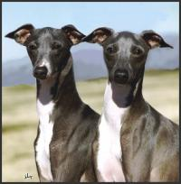 Littleluv Italian Greyhounds