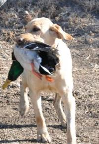 DuckDawg Retrievers