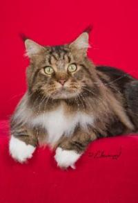 Averill Maine Coons